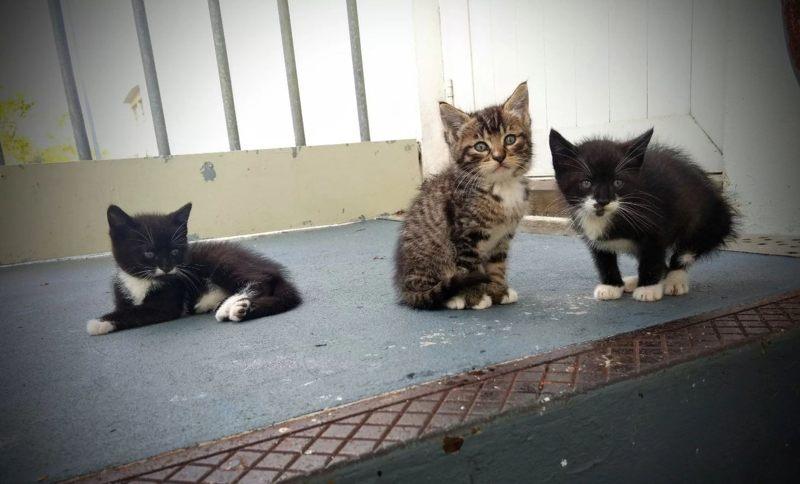 Estos tres gatitos nacieron en el Observatorio de Arecibo, su madre era Gypsy. Tiger, el atigrado en el medio, fue adoptado por un miembro del personal en el observatorio