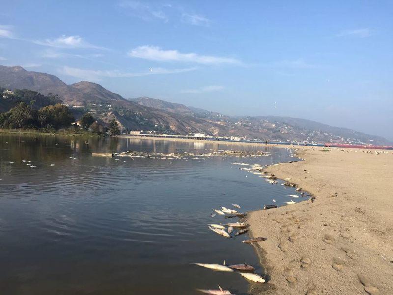 Las aguas de la laguna de Malibu probablemente eran demasiado cálidas para estos peces.
