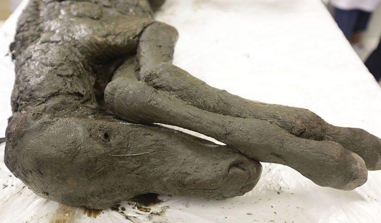 Caballo bebé de 40.000 años increíblemente preservado es descubierto en Siberia