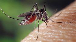 Científicos liberan mosquitos infectado para detener el dengue