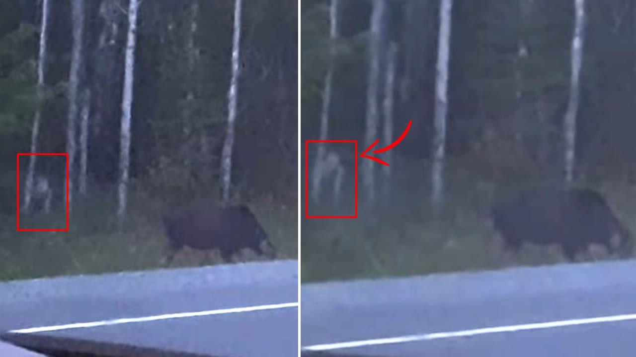 Graban a «extraña criatura» en un bosque de Canadá, acechando a un alce