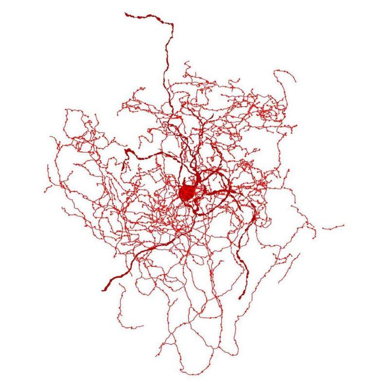 Representación digital de una rosehip neuron en el cerebro humano.