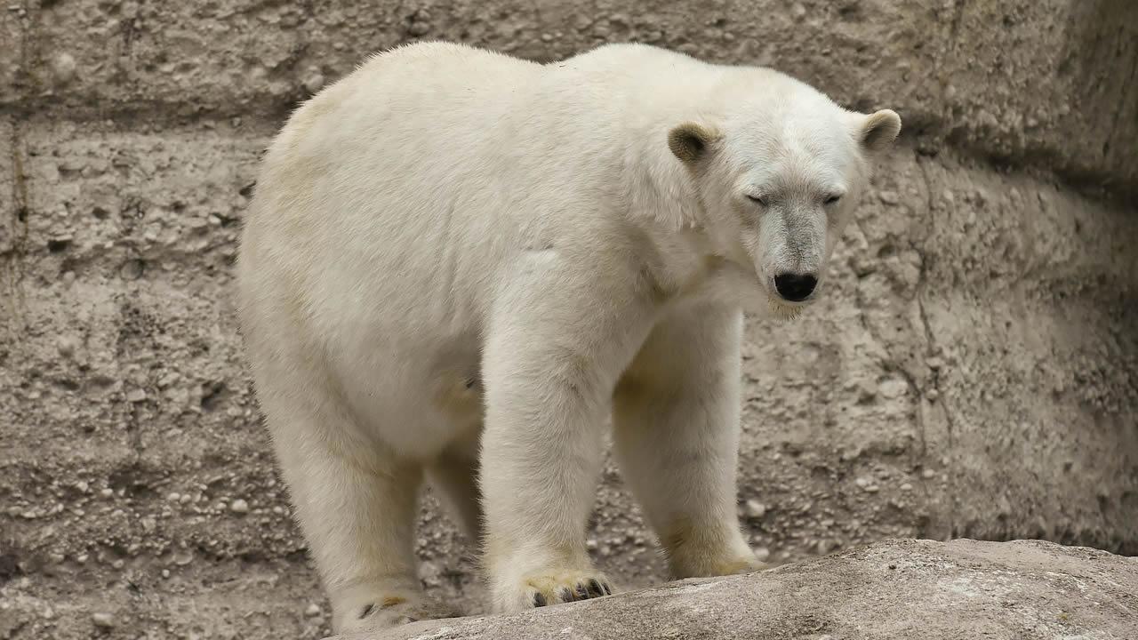Oso polar es fotografiado tratando de comer bolsas de plástico