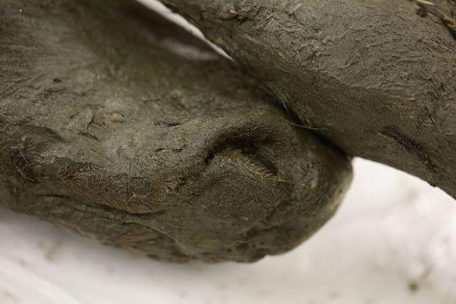 Primer plano de la cabeza del potro de 40.000 años encontrado en Siberia.
