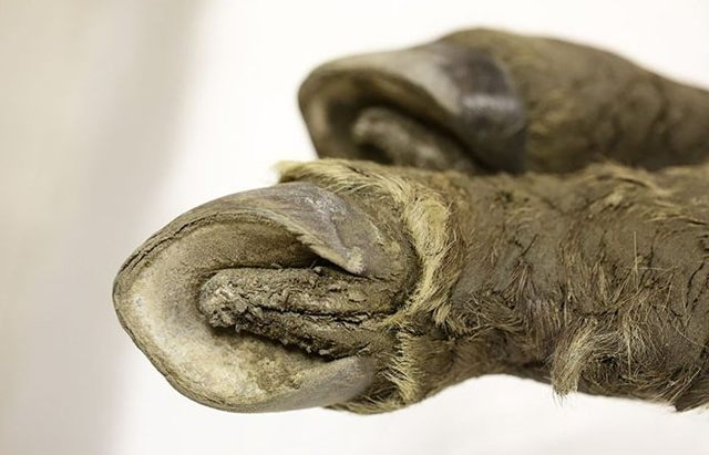 Primer plano de las pezuñas del potro de 40.000 años encontrado en Siberia.