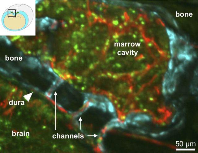 Una versión de tamaño completo de la imagen de microscopía confocal
