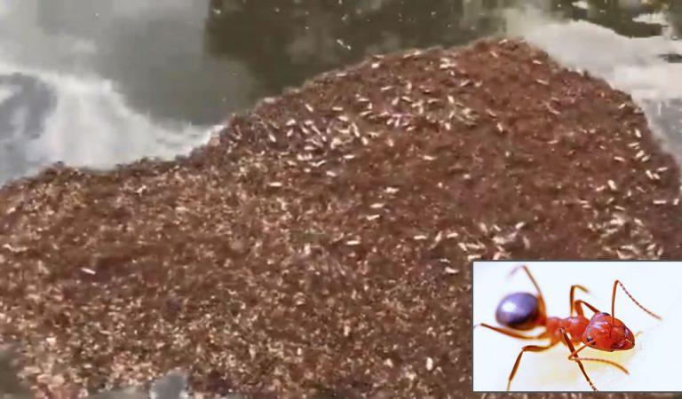 Aparecen muchas «balsas» de hormigas de fuego peligrosas luego del huracán Florence