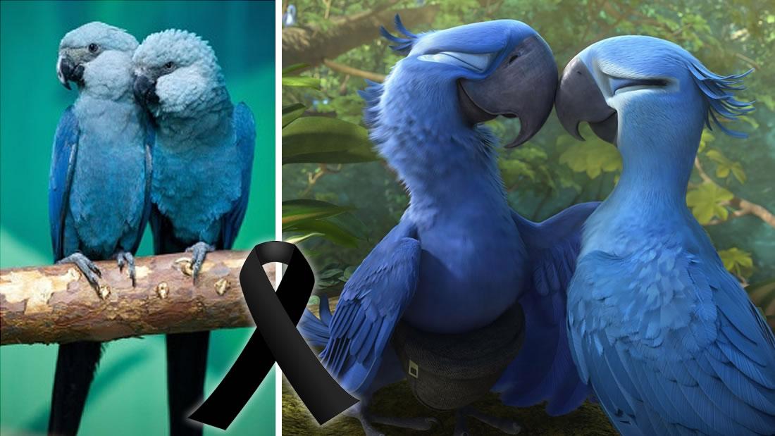 Guacamayos azules que inspiraron la película «Rio» fueron declarados extintos