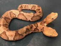 Hallan una serpiente de dos cabezas en EE.UU.