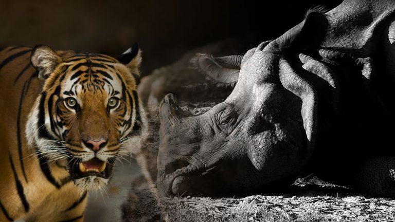 China aprueba el uso medicinal de cuernos de rinoceronte y huesos de tigre