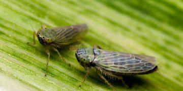 DARPA está desarrollando insectos cargados de virus que podrían ser un arma biológica letal