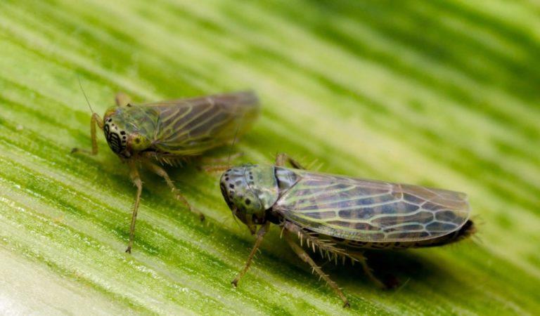 DARPA está desarrollando insectos infectados con virus que podrían ser un arma biológica letal