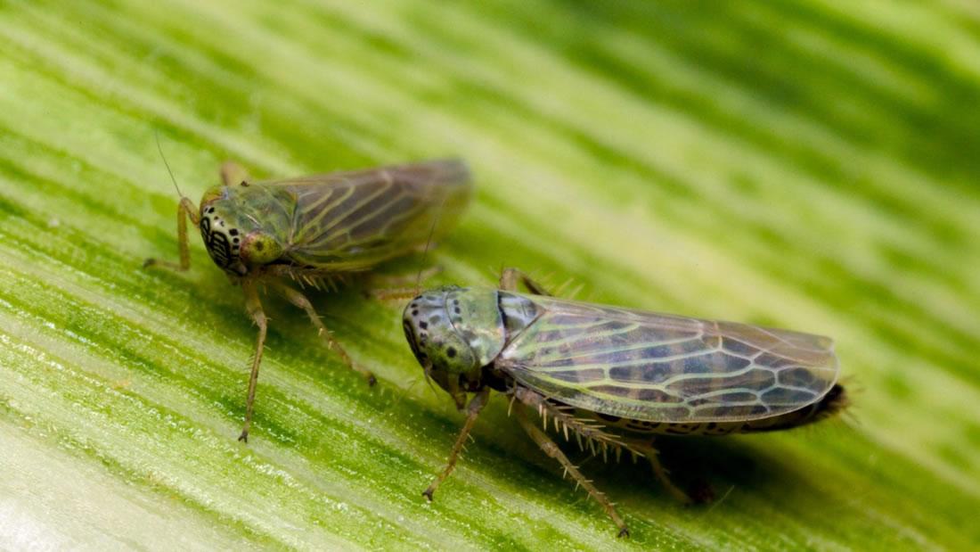 Resultado de imagen para insector como arma biológica
