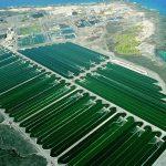 Multinacional afirma que producirá combustible obtenido de las algas