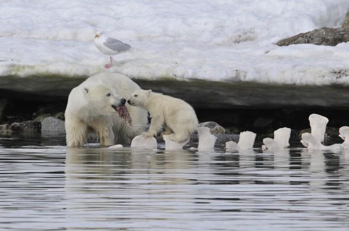 Una hembra de oso polar y su cachorro se alimentan de los restos de una ballena muerta que quedó varada casi un año antes