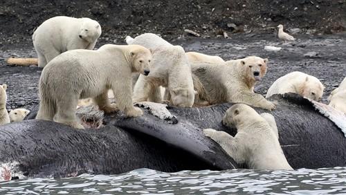 Un grupo de osos polares alimentándose del cadáver de una ballena