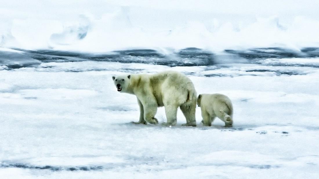 Osos polares podrían extinguirse en pocos años debido a la falta de alimentos