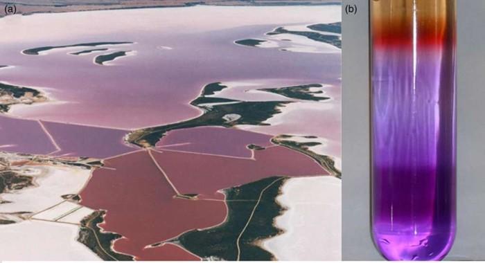 (a) Un estanque de sal australiano con una floración de microorganismos púrpuras. (b) Un gradiente de los pigmentos encontrados en Halobacterium sp., una Archaea con metabolismo basado en la retina