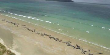 145 ballenas mueren en una playa de Nueva Zelanda