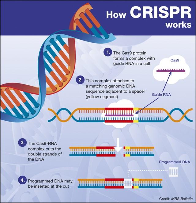 ¿Cómo funciona CRISPR?