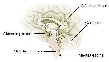 Ilustración del cerebro y la glándula pineal