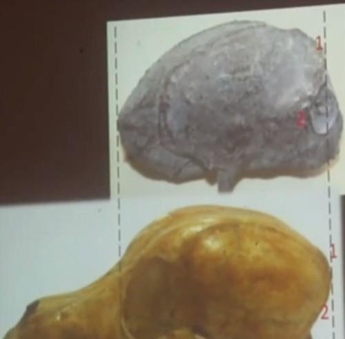 Investigadores revelaron que el cráneo de una supuesta momia extraterrestre de Nazca fue hecho con un cráneo de perro tallado para darle apariencia «alienígena»