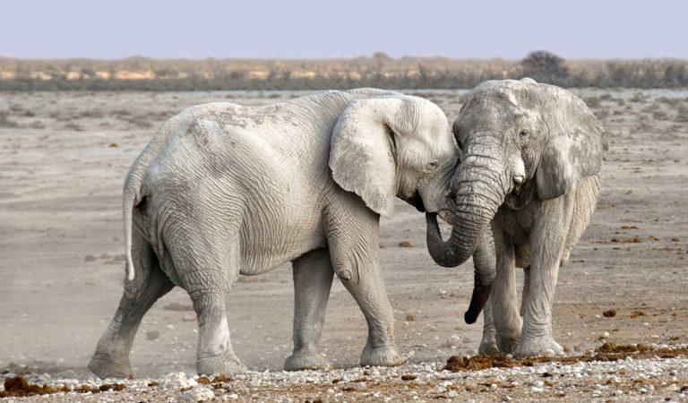 Elefantes africanos están naciendo sin colmillos debido a la caza furtiva