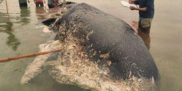 Encuentran una ballena muerta con 6 kilogramos de plástico en su estómago