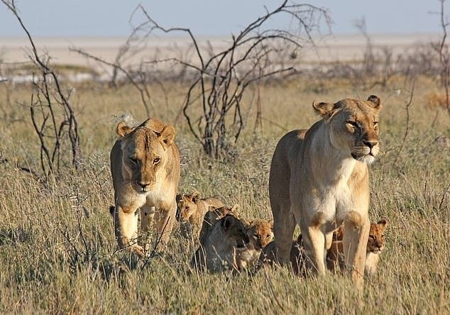 Leonas con cachorros en el Parque Nacional de Etosha