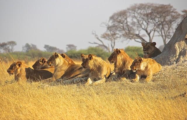 Una familia de leones