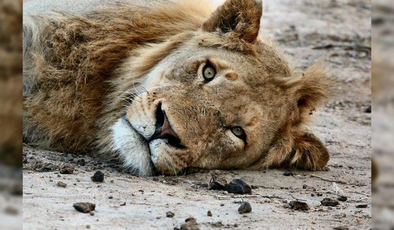 Los leones podrían desaparecer si no se mejora su conservación, dicen expertos