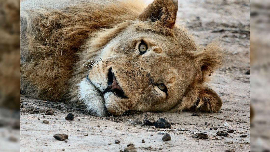 Los leones podrían desaparecer si no se mejora su conservación, dice experto
