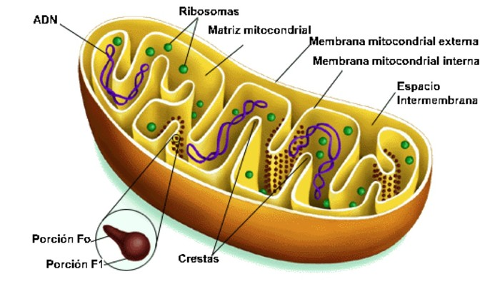 MitocondriMitocondria por dentroa
