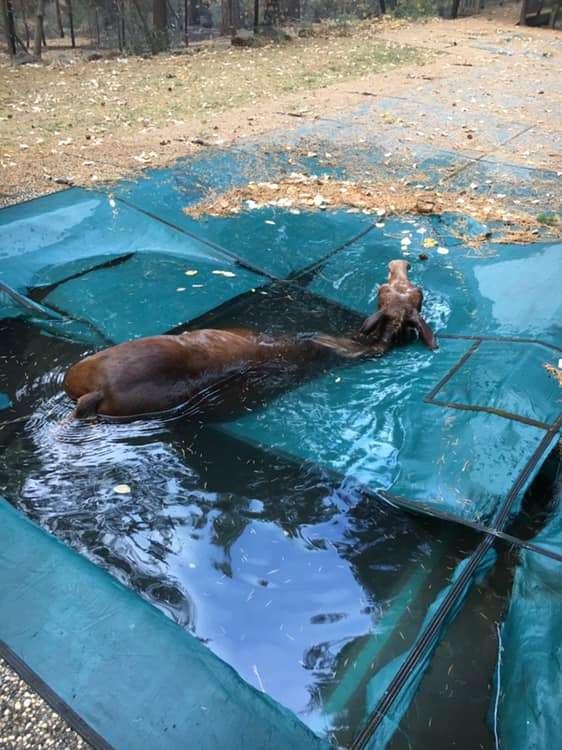 Hill y su amigo retiraron la cubierta de la piscina para que la mula pueda ponerse de pie y salir
