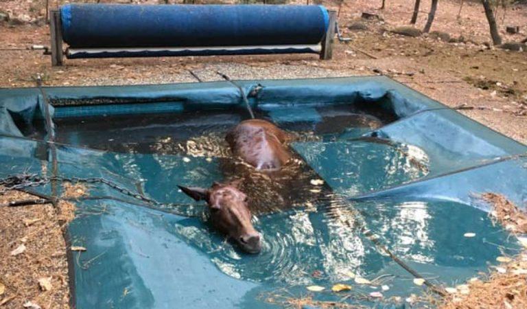 Un caballo «temblando de muerte» en una piscina es rescatado de los incendios forestales de California