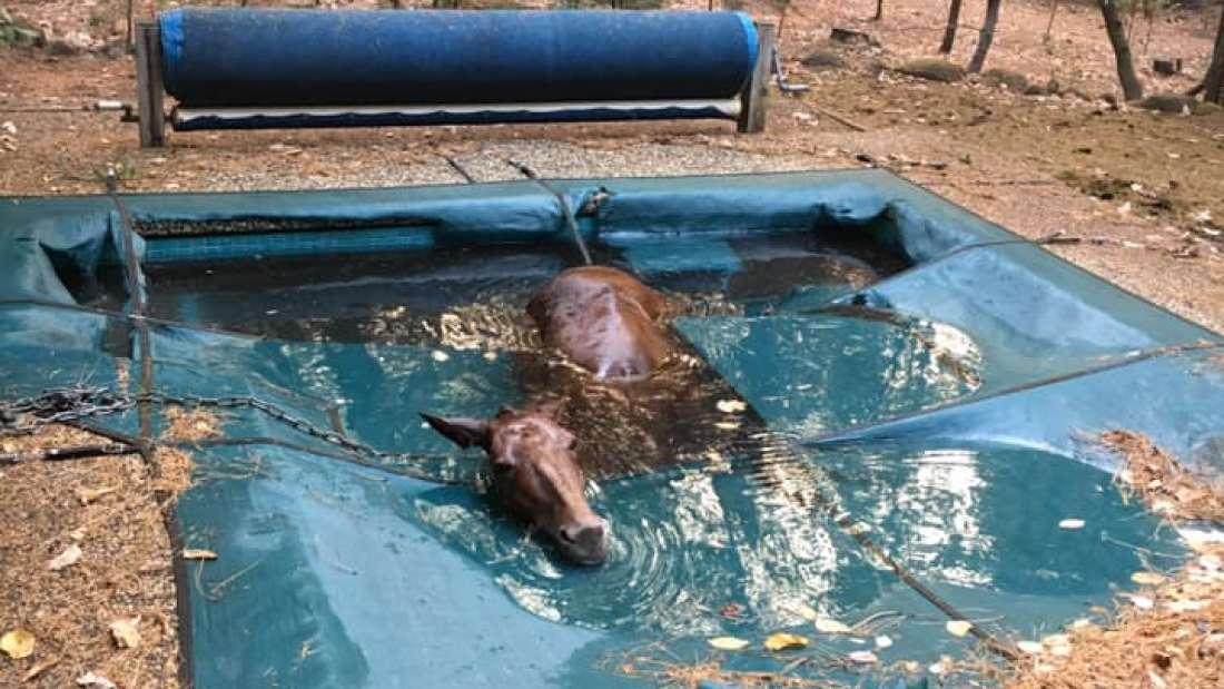 Una mula «temblando de muerte» en una piscina es rescatada de los incendios forestales de California