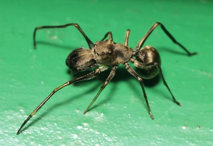 La variedad de arañas Toxeus magnus alimentan a sus crías con un fluido nutritivo hasta que se desarrollan