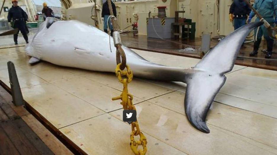 Japón anunció que volverá a cazar ballenas con fines comerciales