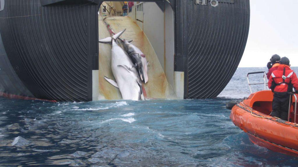 Dos ballenas Minke son arrastradas a bordo de un barco ballenero japonés