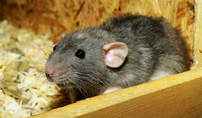 Científicos leen la mente de ratas utilizando mapas cerebrales