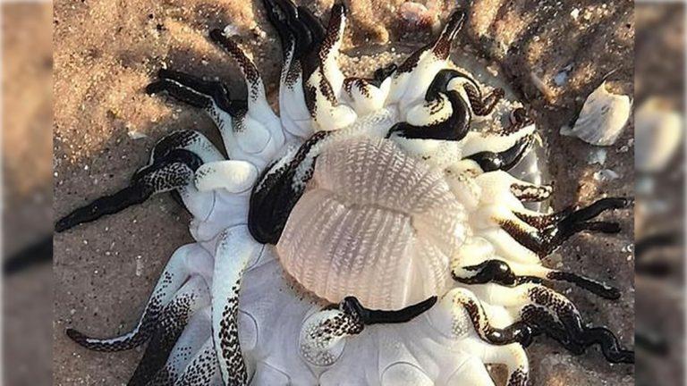 Criatura de aspecto «alienígena» con tentáculos negros aparece en playa de Australia