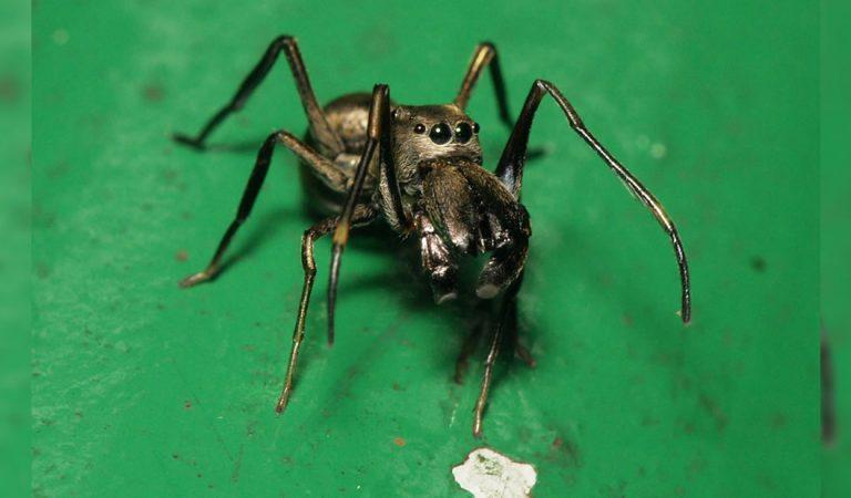 Descubren arañas que amamantan con «leche» a sus crías hasta que abandonan el nido