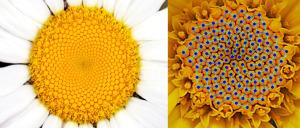 La espiral de Fibonacci en las plantas