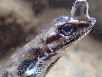 Por primera vez, descubren un lagarto que respira bajo el agua