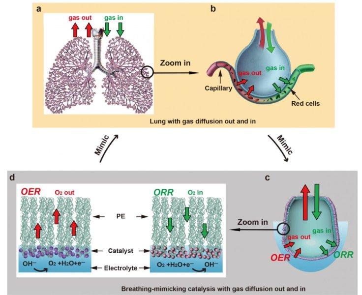 Esta imagen muestra las similitudes entre el intercambio de gases en los pulmones de los mamíferos y un mecanismo recientemente desarrollado para convertir el agua en combustible