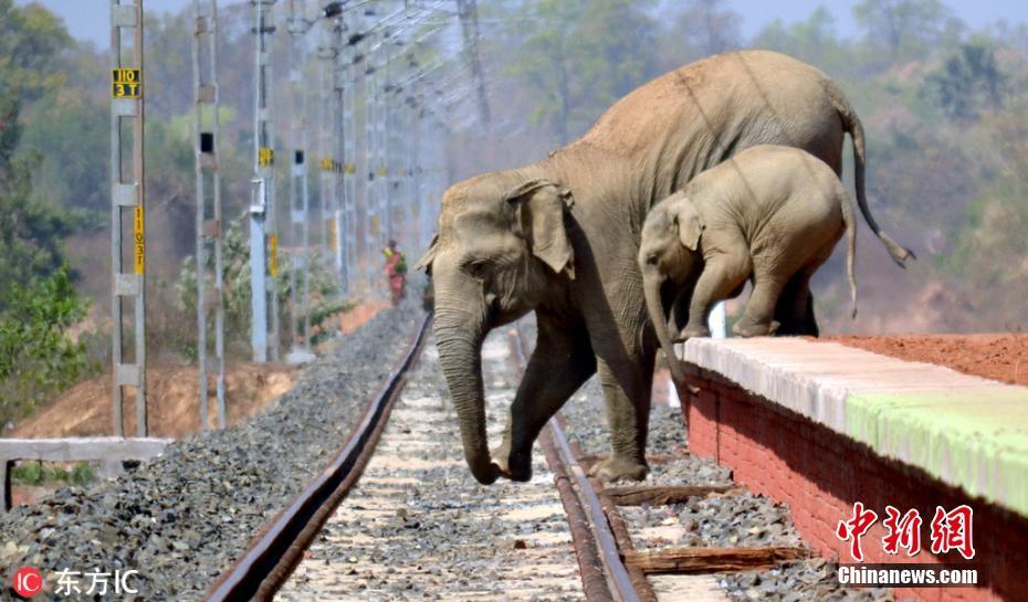 Los elefantes (madre y cría) tratan de cruzar la vías de un ferrocarril donde antes se encontraba su hogar