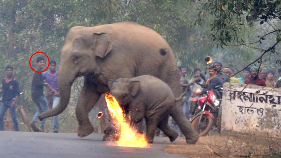 Aldeanos en la India lanzan bombas de fuego a una madre elefante y su cría que huyen de la deforestación