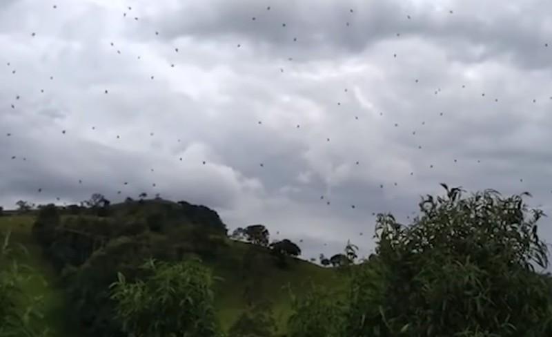 Arañas «lloviendo» del cielo en Brasil