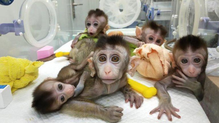 Científicos chinos clonan cinco primates modificados genéticamente