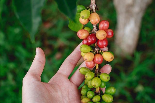 La mayoría de especies de café silvestre están en peligro de extinción